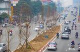 Tin tức - Kỳ vọng cây phong lá đỏ đem lại diện mạo mới cho Thủ đô