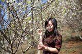 Tin trong nước - Khách du lịch đổ xô tới Mộc Châu ngắm hoa mơ, hoa mận nở