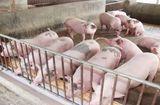 Tin tức - Giá lợn hơi bật tăng trở lại, lên tới 42.000 đồng/kg