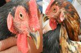 Tin tức - Kỳ lạ con gà trống có