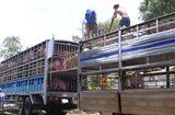 Quyền lợi tiêu dùng - Tiêu hủy 3.115 kg lợn nhập lậu
