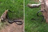 Tin tức - Video: Thỏ mẹ điên cuồng trả thù rắn hổ mang giết con