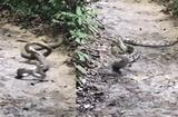 """Tin tức - Video: Hổ mang chúa xuất """"tuyệt chiêu"""" hạ gục trăn gấm trong chớp mắt"""