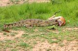 Tin tức - Video: Cá sấu dài 3m kéo lê xác con mồi trên cao tốc