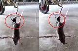 Tin tức - Video: Nhện góa phụ đen kịch độc giăng tơ kết liễu đời chuột