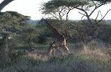 Tin tức - Video: Bầy sư tử hung dữ đu chân hạ gục hươu cao cổ trong giây lát