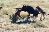 """Tin tức - Video: Linh dương đầu bò """"đơn thương độc mã"""" đả bại 8 con sư tử"""