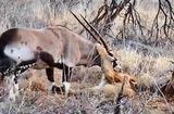 Tin thế giới - Video: Cuộc đụng độ khốc liệt giữa linh dương sừng kiếm và đàn sư tử