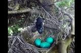 Tin tức - Video: Rắn lẻn lên cây tham lam nuốt chửng 4 quả trứng chim
