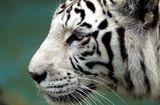 Tin thế giới - Hổ trắng quý hiếm bất ngờ vồ chết nhân viên vườn thú