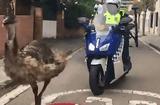 Tin thế giới - Video: Cảnh sát dùng cả xe máy, ôtô truy đuổi đà điểu trên phố đông người