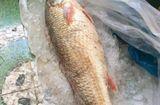"""Tin tức - Con cá """"lạ"""" ở Quảng Ngãi, trả 150 triệu đồng chưa bán"""