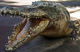 Tin thế giới - Ông bố cắn thẳng vào chân cá sấu, cứu sống con trai bị lôi xuống nước