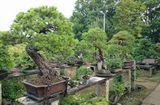 Tin thế giới - Bị mất cắp chậu bonsai 400 năm tuổi, người phụ nữ Nhật Bản đăng hướng dẫn chăm sóc