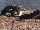 Video-Hot - Cá sấu cắn xé đồng loại dã man vì tranh giành lãnh thổ