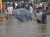Cá voi nặng 10 tấn mắc cạn được giải cứu về với biển