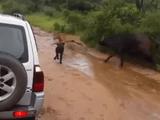 Video-Hot - Bảo vệ con, trâu mẹ nổi điên truy sát sư tử