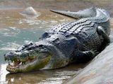 Video-Hot - Cá sấu chúa giết chết kangaroo bằng cú đớp kinh hoàng