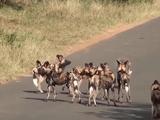 Video-Hot - Chú lợn dũng cảm đối đầu với một bầy chó săn
