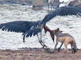 Video-Hot - Cuộc đại chiến giữa chó rừng và cò lớn châu Phi