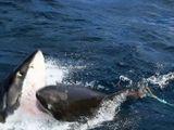 Video-Hot - Cận cảnh cá mập tranh nhau xâu xé xác đồng loại