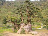 Cây duối nghìn năm tuổi được chào giá chục tỷ, chủ vườn chưa bán