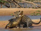 Tin tức - Video: Báo đốm khiến cá sấu caiman tê liệt nằm chờ tử thần