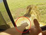 Tin tức - Du khách suýt bị sư tử ngoạm đứt tay vì cả gan thò tay ra vuốt lông