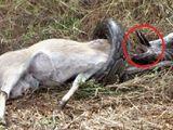 """Tin tức - Video: Trăn không lồ nhận """"cái kết thảm"""" khi cố nuốt chửng linh dương"""