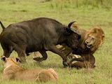 Video: Trận chiến sinh tử giữa trâu rừng và 3 con sư tử