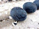 Loài gà đẻ trứng đen như than, giá 1 triệu đồng/quả có gì đặc biệt?