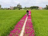 Ngắm con đường ngập tràn sắc hoa mười giờ lãng mạn nhất Tiền Giang