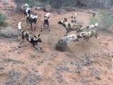 Tin tức - Video: Trận chiến sinh tử giữa linh cẩu và đàn chó hoang châu Phi
