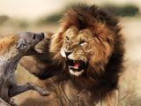 Cuộc chiến sinh tồn: Liều lĩnh tranh mồi của sư tử, đàn linh cẩu nhận cái kết đắng