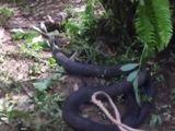 Video: Hãi hùng rắn hổ mang chúa xơi tái trăn