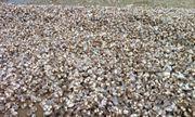 Hàng tấn sò lông đã chết lần đầu tiên trôi dạt vào bờ biển Hà Tĩnh