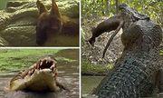 Cá sấu khổng lồ chớp nhoáng tung người xé đôi kangaro