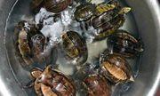 Nghệ An: Bắt nữ đối tượng vận chuyển rùa hộp trán vàng