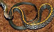 Đang chơi ngoài sân, bị rắn sọc vàng 10cm cắn