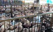 Gần 4.000 con heo bị tiêm thuốc an thần: Cán bộ thú y bị \