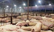 TP. Hồ Chí Minh phát hiện thêm 70 con lợn bị tiêm thuốc an thần ở lò Hòa Phú