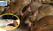Bị chuột cắn có thể tử vong: Lời cảnh tỉnh cần chú ý