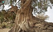 Những cây gỗ tươi quý hiếm bậc nhất thế giới chỉ đại gia mới dám chi tiền mua