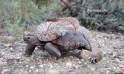Rắn chuông kịch độc chễm chệ cưỡi lưng rùa sa mạc