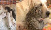 Cảm động chú chó mẹ chăm sóc hai chú báo con bị bỏ rơi như con ruột