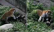 Hổ sổng chuồng, lao ra cắn nhân viên sở thú trước mặt du khách