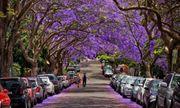 Ngắm hoa phượng tím đẹp nao lòng ở thành phố Sydney