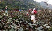 Nông dân vùng cao phơi sương chăm hoa nở dịp tết