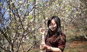 Khách du lịch đổ xô tới Mộc Châu ngắm hoa mơ, hoa mận nở