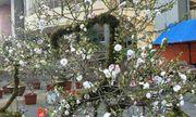 Chiêm ngưỡng cây mai cổ rêu phong có giá trăm triệu